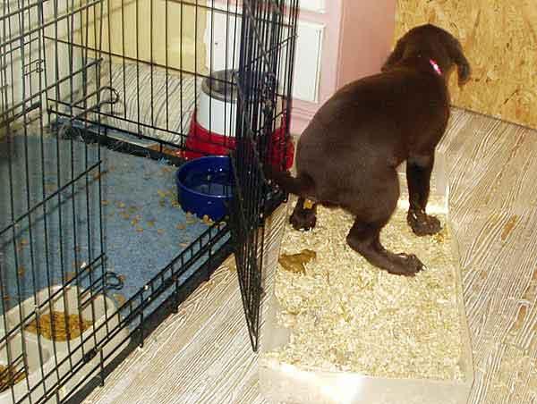 Chocolate labrador retrievers at stargate kennels for Cedar shavings for dog kennels